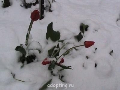 Мои тюльпаны - IMG_0548.jpg