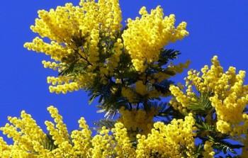 Хочу поздравить - Mimoza-akatsiya-i-drugie....jpg